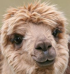 Look at this cute, fluffy face, no wonder alpaca rugs turn out so soft!⠀ PS: No Alpacas are harmed in our rug making process, we use sustainable practices (read more on our website) Alpacas, Amor Animal, Mundo Animal, Animal Fur, Farm Animals, Animals And Pets, Cute Animals, Animals Planet, Beautiful Creatures