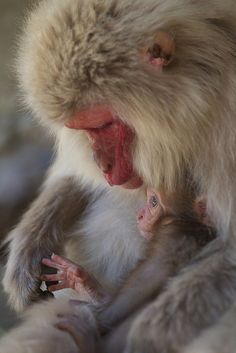 Mother and Baby Snow Monkeys