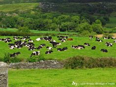 Cows in the Fannad Peninsula, Co.Donegal, by The Magic of Ireland. © Andrés Hurtado