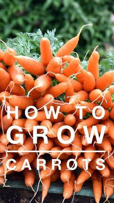 Hydroponic Gardening Learn how to grow a terrific crop of carrots in your vegetable garden this season. Growing carrots can be easy if you know the right tips. Vegetable Garden Planner, Indoor Vegetable Gardening, Organic Gardening Tips, Gardening Blogs, Gardening Zones, Gardening Services, Herb Gardening, Gardening Supplies, Container Gardening