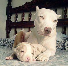 Die 99 Besten Ideen Zu Amerikanische Bulldogge Amerikanische Bulldogge Bulldogge Hunde