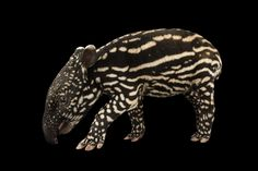 Picture of a six-day-old Malayan tapir (Tapirus inducus), Minnesota Zoo.