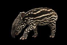 Picture of a six-day-old Malayan tapir (Tapirus inducus), Minnesota Zoo.  Joel Sartore