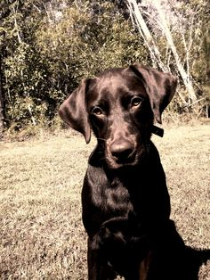 chocolate labrador - our dog one day :)