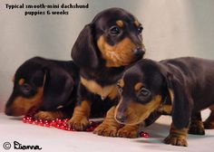 Black & Tan Smooth Mini Doxie Pups.  We will have one in 4 weeks!!  The kids are beyond excited!!