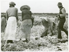 """Migratory laborers cutting celery, Belle Glade, Florida"" January 1941 Farm Security Administration Collection. / Florida. / Marion Post Wolcott."