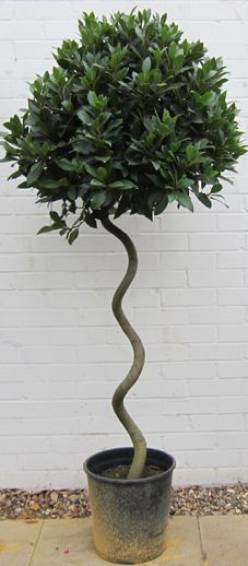 Bay tree standard corkscrew | Laurus nobilis
