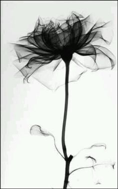 X ray of a rose