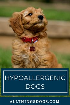 Hypoallergenic dogs are dogs who are less likely to cause a reaction in humans suffering from allerg Hyperallergenic Dogs, Puppies And Kitties, Doggies, Large Dog Breeds, Best Dog Breeds, Medium Dog Breeds, Pet Breeds, Low Shedding Dog Breeds, Non Shedding Dogs Large
