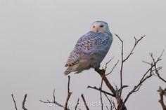 Snowy owl in tree. Kevin Ebi
