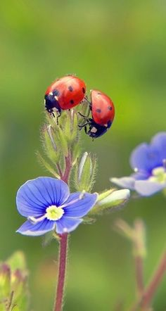 ladybug and blue flower so delicate. Beautiful Creatures, Animals Beautiful, Cute Animals, Beautiful Bugs, Beautiful Flowers, Photo Coccinelle, Fotografia Macro, Bugs And Insects, Jolie Photo