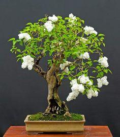 white lilac bonsai