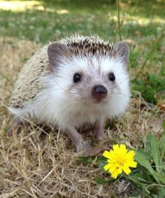 Pygmy Hedgehog Cages and Accessories For Sale Pygmy Hedgehog, Cute Hedgehog, Happy Animals, Funny Animals, Cute Animals, Small Animals, African Hedgehog, Baby Puppies, Animals Images