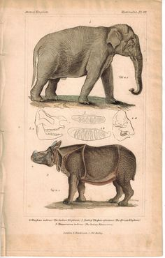 Indian Elephant and Indian Rhino Rhinoceros 1837 Engraved Cuvier Print Vintage Illustration Art, Science Illustration, Animals And Pets, Baby Animals, Baby Elephants, Wild Animals, Historia Natural, Engraving Printing, Wildlife Paintings