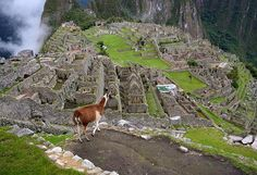 Photo by @andywcoleman // Sometimes, finding a quiet place at Machu Picchu can be a challenge, even for a llama.  The grounds can get a little crowded towards midday. If you are looking for a quieter time to visit the citadel, try getting there early in the morning or staying through the late afternoon. #machupicchu