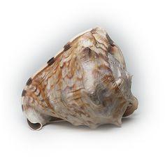 Large Helmet Sea Shell Specimen by silvergoldbuyers on Etsy