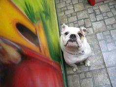 Dog's Fashion Pet com Barcus em um dia descontraído no Hotel e Creche http://www.dogsfashionpet.com.br/hotelzinho.php Rua Quintino Bocaiúva 1094 - Ribeirão Preto - SP #ribs #ribeiraopreto #saopaulo #orlandia #rio #rioclaro #saocarlos #serrana #serraazul #saosimao #pirassununga #leme #limeira #pets #petshop #doglovers #dogsofinstagram #caes #gatos #cats #veterinaria #spitz #sp #love #brasil #brodowski #banho #tosa #amor #carinho