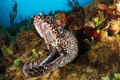 Treasures Of The Sea  Serafini Amelia  Spotted Moray Eel