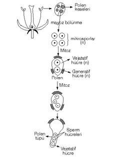 A. ÇİÇEĞİN YAPISI VE KISIMLARI Çiçek tohumlu bitkilerde üreme organıdır. Tohumlu bitkiler..