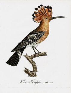 PANTEEK- ANTIQUE PRINTS --  Jean Baptiste Audebert and Louis Jean Pierre Vieillot 'Oiseaux Dores' Bird Prints 1802