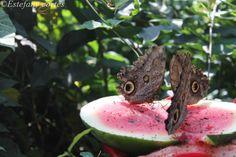 mariposas comiendo sandia