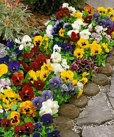 Winter Flowering Pansies Mixed | Themes from Spalding Bulb