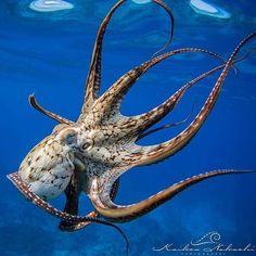 Photo by © Day Octopus (Octopus Cyanea), Hawaii. Underwater Animals, Underwater Creatures, Underwater Life, Octopus Photography, Animal Photography, Beautiful Sea Creatures, Animals Beautiful, Octopus Pictures, Especie Animal