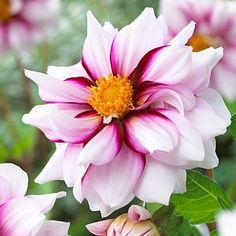 This dahlia has striking camellia-like blooms in an elegant swirl of white and purple. The 3/bag Sale Price American Meadows 12.98 32 inches