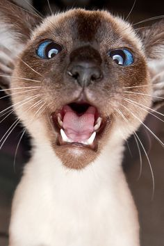 Wonderful Snap Shots siamese cats cross eyed Ideas Siamese kittens and cats sho. : Wonderful Snap Shots siamese cats cross eyed Ideas Siamese kittens and cats sho… , Siamese Cats For Sale, Cats And Kittens, Siamese Kittens, Funny Cats, Funny Animals, Cute Animals, Animals Images, Crazy Cat Lady, Crazy Cats