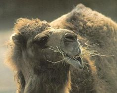 Why are the PA Amish raising camel farms for camel milk?