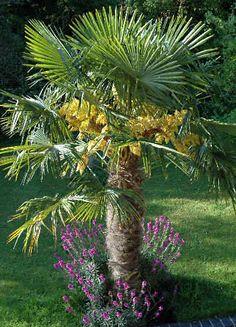 Palma mrozoodporna Szorstkowiec Fortunego (Trachycarpus fortunei) - bardzo wytrzymała i do tego łatwa w uprawie! W sam raz by zaskoczyć sąsiadów :)