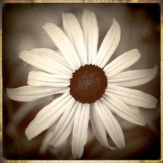 Daisy Photograph Black And White by Laura Carter. #Flowers #Daisy #Daisies