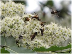 PLOS ONE: Migrating Giant Honey Bees (Apis dorsata) Congregate Annually at Stopover Site in Thailand