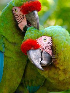 Lobotomy - Parrot Style. by sbohan, via Flickr