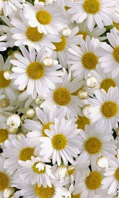 Lots of beautiful Daisy Happy Flowers, My Flower, White Flowers, Beautiful Flowers, Beautiful Gorgeous, Simply Beautiful, Foto Nature, Sunflowers And Daisies, Daisy Love