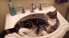 Funny Cute Cats, Cute Cat Gif, Cute Cats And Kittens, Cute Funny Animals, Cute Baby Animals, Kittens Cutest, Animals And Pets, Fat Cats Funny, Fluffy Animals