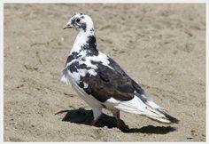 Avise's Birds of the World: Domestic Pigeon, California, USA ~ [www. Cute Pigeon, California Usa, Bird Feathers, Beautiful Birds, Animals, Animals And Pets, Animales, Animaux, Animal