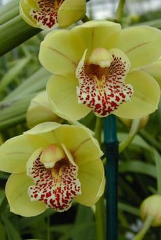 Excellent Toddler Shower Centerpiece Tips My Cymbidium Orchid - Special Unusual Color And Huge Blooms Cheap Flowers, Unusual Flowers, Wonderful Flowers, Container Vegetables, Container Gardening, Orquideas Cymbidium, Cymbidium Orchids, Local Florist, Shower Centerpieces