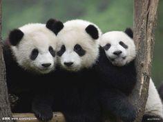 I love pandas! Panda Day, Panda Love, Panda Panda, Happy Animals, Animals And Pets, Cute Animals, Panda's Dream, Animal Crackers, Kawaii