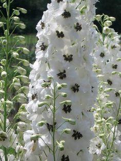 Delphinium 'Magic Fountains White/Dark Bee'