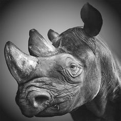 rhino face picture - Google Search