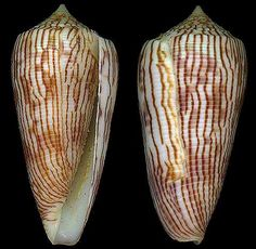 Asprella kuroharai  (Habe, T., 1965)	 Kuroharas Cone	 Shell size 35 - 72 mm	 Japan - Philippines; Loyalty Island
