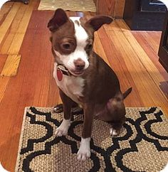 Pictures of Daisy a Boston Terrier/Chihuahua Mix for adoption in Bridgeton, MO who needs a loving home.