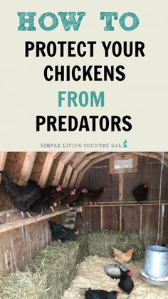 simple tips on how to keep your chickens safe inside of their chicken coop. A perfect guide for backyard chickens to keep your flock safe from chicken predators. Raising Backyard Chickens, Backyard Chicken Coops, Keeping Chickens, Chicken Coop Plans, Building A Chicken Coop, Diy Chicken Coop, Pet Chickens, Types Of Chickens, How To Keep Chickens