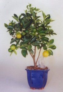 Bonsai Boy's Orange Citrus Bonsai Tree Calamondin Orange by Bonsai Boy $89.95 Our decorative citrus tree has shiny evergreen leaves and marvelously fragrant white flowers. Miniature fruit (which grows only to the size of a golf ball) and flowers appear over the course of a year, often at the same time. Perfect in stir-fry, beverages or as a snack. Very easy indoor care.