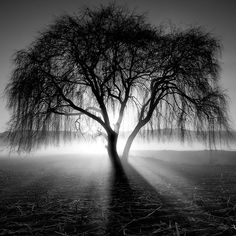 Light, fog, mist, shadows through the branches of a weeping tree. What a moment.