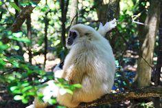 Monkeyland's White Handed or Lar Gibbon Primates, First World, Spaces, Bird, Animals, Animales, Primate, Animaux, Birds