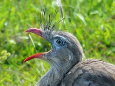 Foto seriema (Cariama cristata) por Gustavo Gomes   Wiki Aves - A Enciclopédia das Aves do Brasil