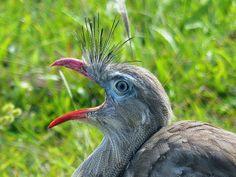 Foto seriema (Cariama cristata) por Gustavo Gomes | Wiki Aves - A Enciclopédia das Aves do Brasil