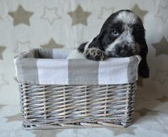 English Cocker Spaniel Pup ~ Classic Look